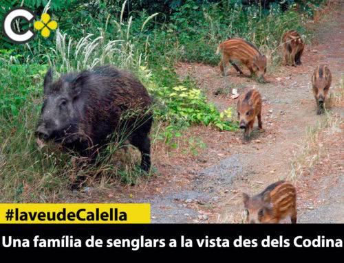 Una família de senglars a la vista des dels Codina