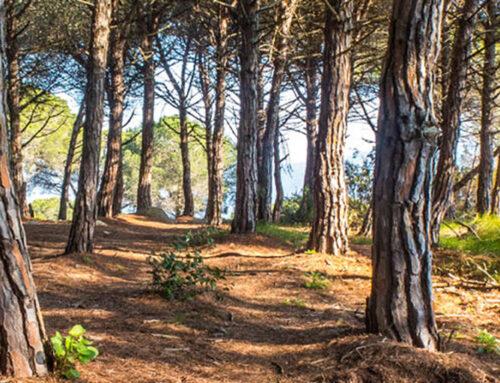 Decomissades 14 tones de pinyes recollides de manera furtiva al Parc Natural del Montnegre i el Corredor