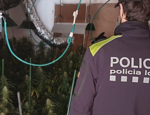 La Policia Local intervé gairebé 300 plantes de marihuana en un pis del carrer Moragas